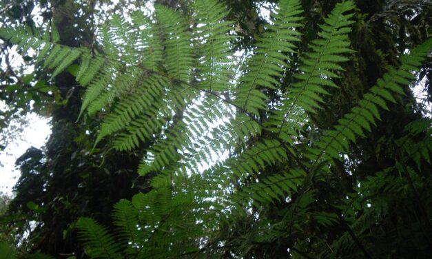 Megalastrum apicale