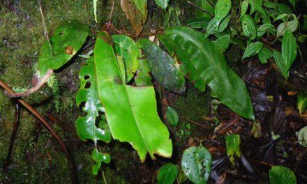 Elaphoglossum decoratum