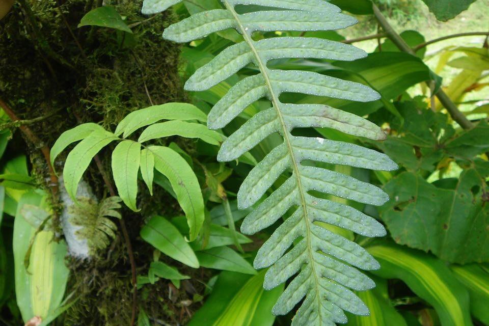 Pleopeltis remota