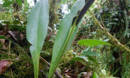 Elaphoglossum longicrure