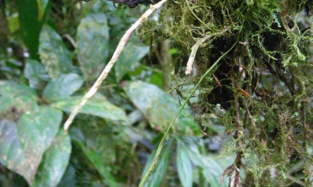 Cochlidium rostratum