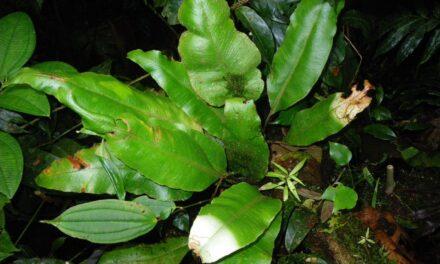 Elaphoglossum phoras