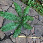 Pteris podophylla
