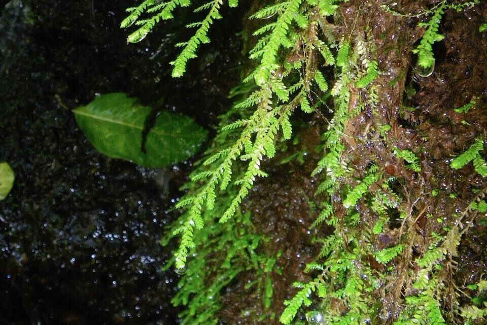 Selaginella porphyrospora