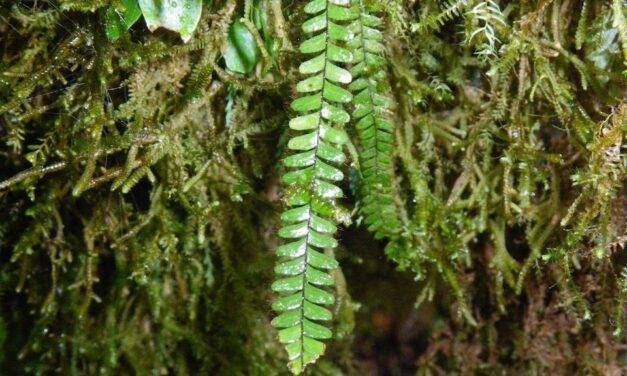 Moranopteris taenifolia