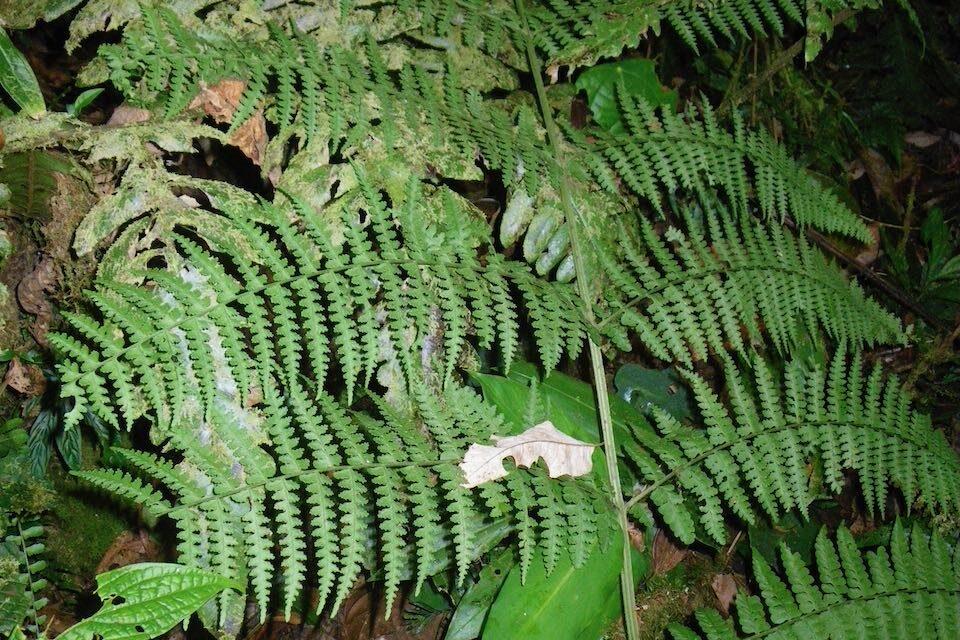 Dennstaedtia auriculata