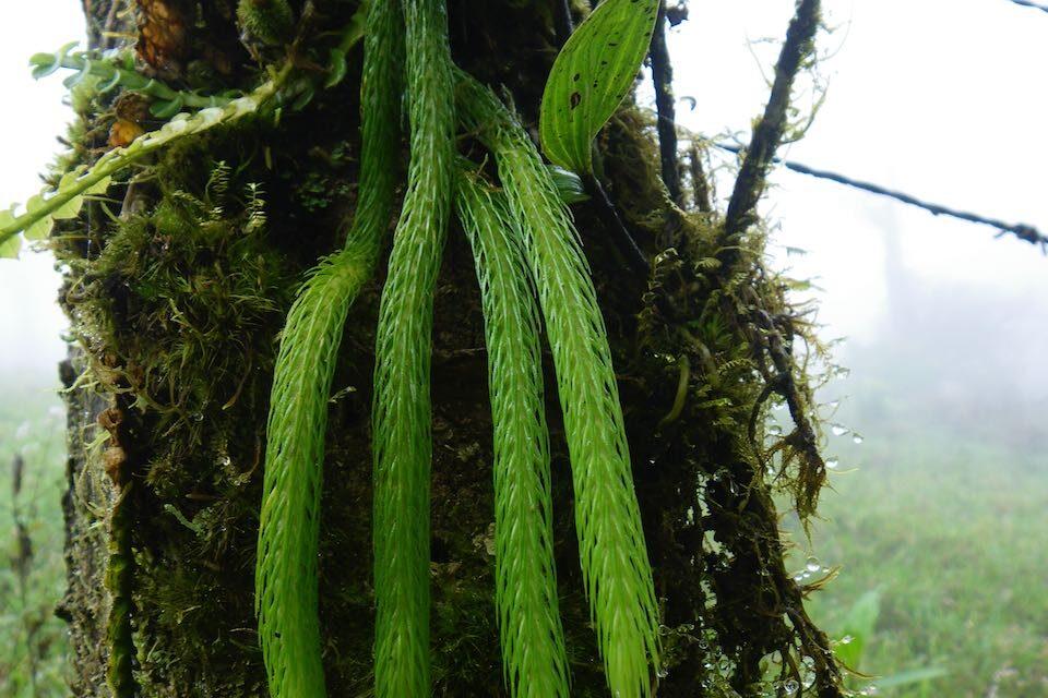 Phlegmariurus funiformis