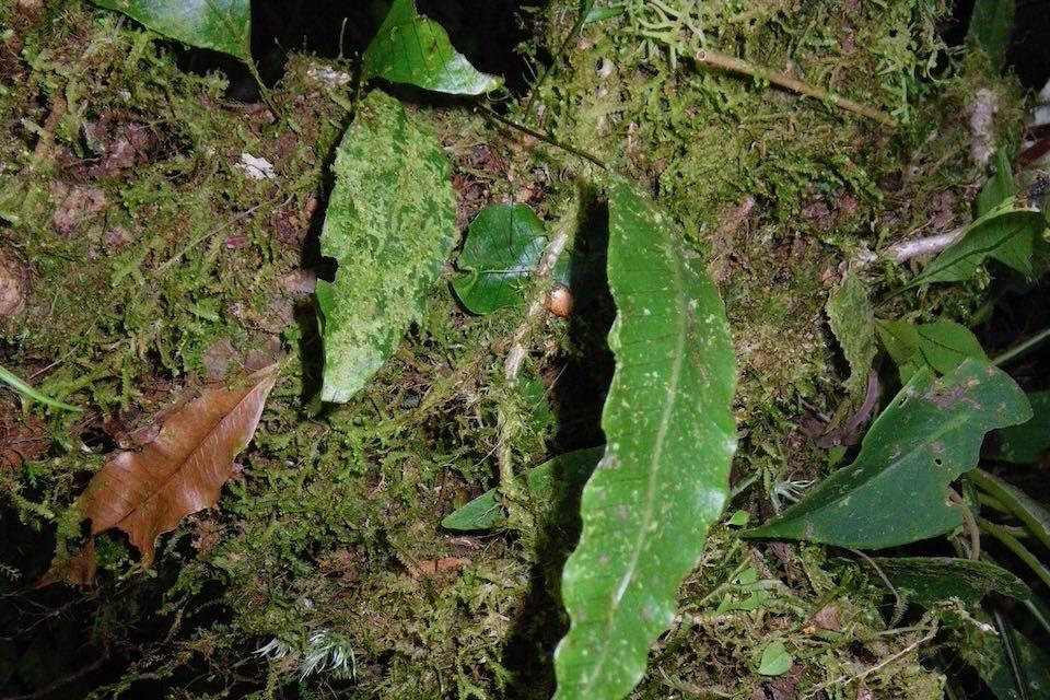 Campyloneurum sphenodes