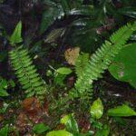 Dennstaedtia werckleana