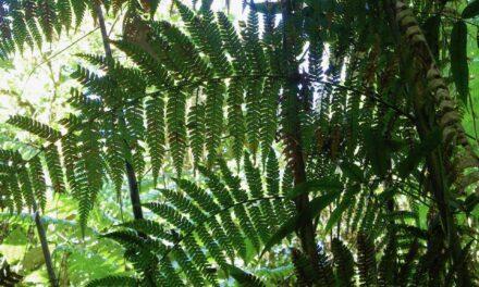 Dicksonia navarrensis