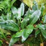 Elaphoglossum latifolium