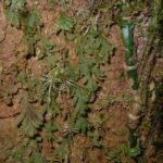 Hymenophyllum fragile