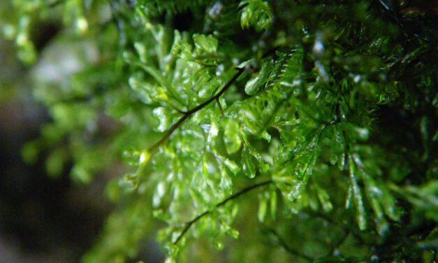Hymenophyllum lineare