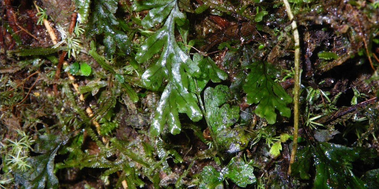 Hymenophyllum semiglabrum