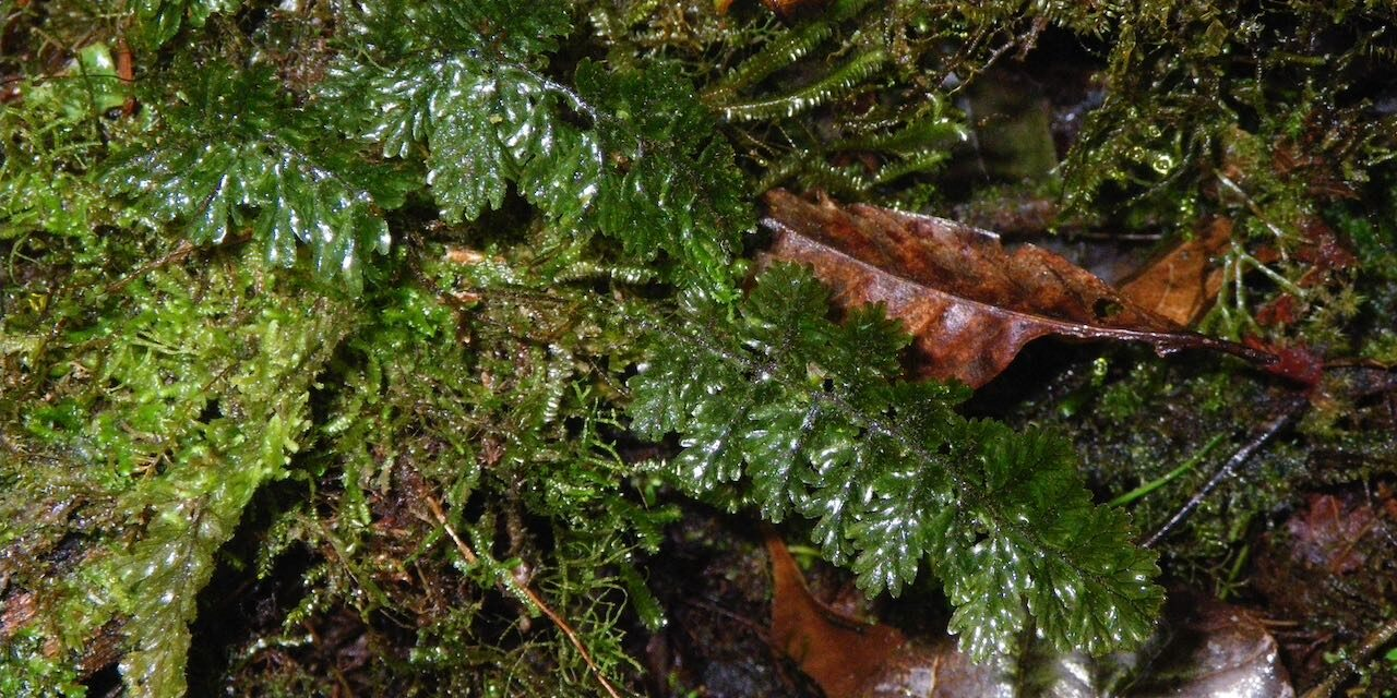 Hymenophyllum trapezoidale