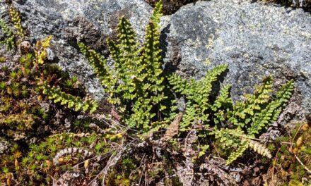Myriopteris gracillima