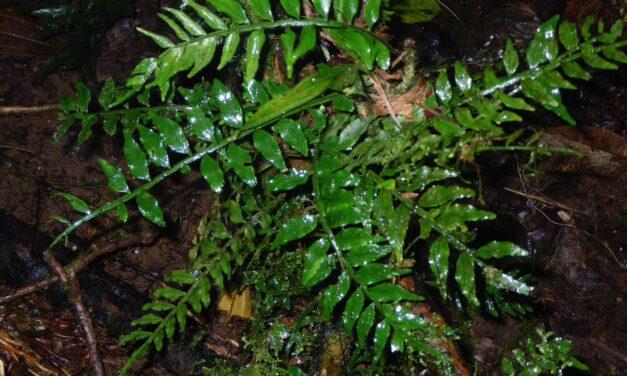 Lomariopsis maxonii