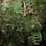 Polyphlebium capillaceum
