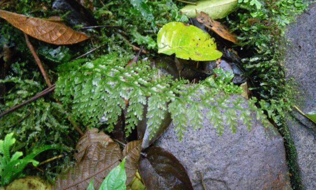 Vandenboschia collariata