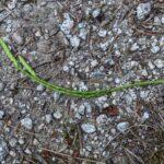 Alaskan Clubmoss – Diphasiastrum sitchense – Lycopodiaceae – Kaniksu National Forest – Boulder Meadow Trail (4) (Diphasiastrum sitchense)