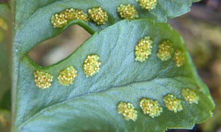 Polypodium hesperium