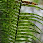 Pecluma camptophyllaria