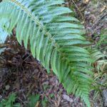 Western Sword Fern – Polystichum munitum – Dryopteridaceae – Willow Creek (4) (Polystichum munitum)