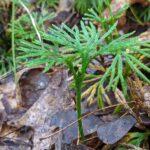 Fan Clubmoss – Diphasiastrum digitatum – Lycopodiaceae – Gandy Dancer Trail (5) (Diphasiastrum digitatum)